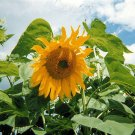 MAMMOTH SUNFLOWER grey stripe helianthus annus 20 seeds