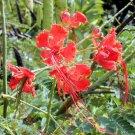 BULK RED BIRD OF PARADISE CAESALPINIA PULCHERRIMA 50 seeds