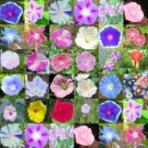 Over 20 diff. rare & unusual MORNING GLORIES MIX 100 seeds