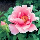 PAEONIA SUFFRUTICOSA Tree peony pink cloud 50 seeds
