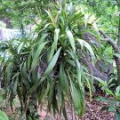 BULK PALM LILY cordyline stricta dragena agavaceae 500 seeds