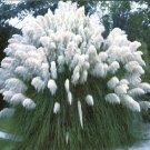 BULK PAMPAS GRASS WHITE Cortaderia selloana 500+ seeds