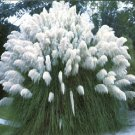 BULK PAMPAS GRASS WHITE Cortaderia selloana 250+ seeds