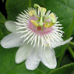 PASSIFLORA FOETIDA Love-in-a-mist, running pop 50 seeds