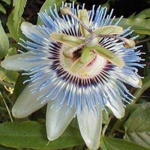 BULK - PASSIFLORA CEARULEA Passion vine 'Blue Crown'  500 seeds