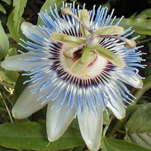 PASSIFLORA CEARULEA Passion vine 'Blue Crown'  50 seeds