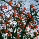 PERSIMMON TREE Diospyros virginiana 50 seeds