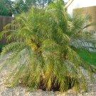 BULK PHOENIX ROEBELENII  - PYGMY DATE PALM 500 seeds