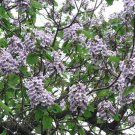 BULK - PRINCESS TREE paulownia tomentosa 5000+ seeds