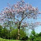 BULK - PRINCESS TREE paulownia tomentosa 250+ seeds