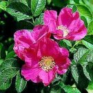 RED JAPANESE ROSE  ROSA RUGOSA RUBRA fragant 50 seeds