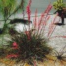 BULK RED YUCCA Hesperaloe parviflora 100 seeds
