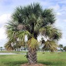 BULK SABAL PALMETTO, CABBAGE PALM cold hardy 500 seeds