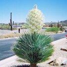 BULK SOAPTREE YUCCA ELATA extremely frost hardy 500 seeds