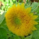 BULK Dwarf SUNFLOWER TEDDY BEAR orange double blooms 750 seeds