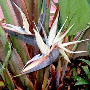 WHITE BIRD OF PARADISE STRELITZIA NICOLAI 50 seeds