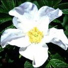 WHITE JAPANESE ROSE  ROSA RUGOSA ALBA fragant 50 seeds