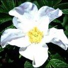 WHITE JAPANESE ROSE  ROSA RUGOSA ALBA fragant 50 seeds
