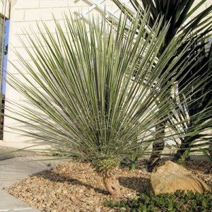 YUCCA GLAUCA Soapweed Yucca beargrass 50 seeds