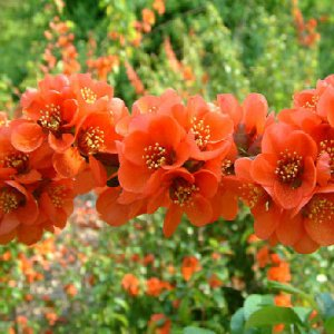 BULK FLOWERING QUINCE Chaenomeles Japonica BONSAI 1000 seeds