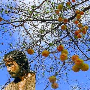 BULK Ziziphus Spina Christi Christus Thorn Nabbag 100 seeds