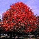 Nyssa sylvatica Black gum tupelo sourgum 50 seeds
