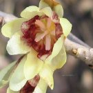 Chimonanthus praecox fragrant Wintersweet BULK 100 seeds