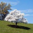 BULK Pagoda Dogwood Cornus alternifolia Tree bonsai 500 seeds