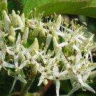 BULK Silky Dogwood swamp dogwood cornus amomum 1000 seeds