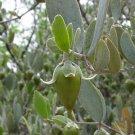 BULK JOJOBA Simmondsia chinensis 100 seeds
