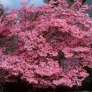 PINK FLOWERING DOGWOOD cornus florida rubra 50 seeds