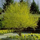 CORNELIAN CHERRY DOGWOOD cornus mas  50 seeds