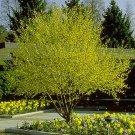 CORNELIAN CHERRY DOGWOOD cornus mas  BULK 500 seeds