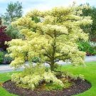 GIANT DOGWOOD cornus controversa 50 seeds