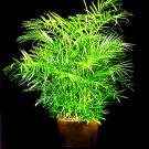BAMBOO PALM chamaedorea florida hybrid BULK 100 seeds