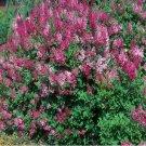 MANCHURIAN LILAC syringa patula 50 seeds