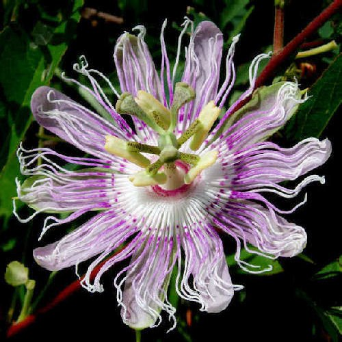 BULK Maypop Passiflora incarnata passion fruit vine 100 seeds