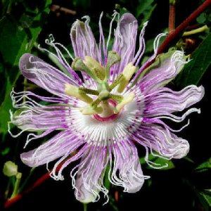 PASSIFLORA incarnata Maypop fruit vine 10 seeds