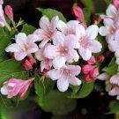 BEAUTYBUSH KOLKWITZIA AMABILIS 50 seeds