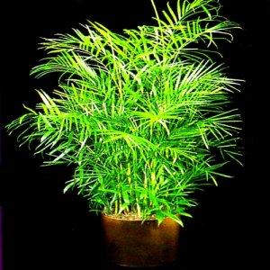 BAMBOO PALM chamaedorea florida hybrid BULK 500 seeds