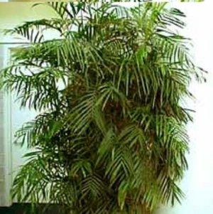 BULK - BAMBOO PALM CHAMAEDOREA SEIFRiTZII 500 seeds
