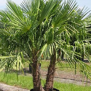 WINDMILL PALM Trachycarpus fortunii cold hardy BULK 1000 seeds