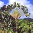 BULK TRAVELERS PALM Ravenala madagascariensis 1000 seeds