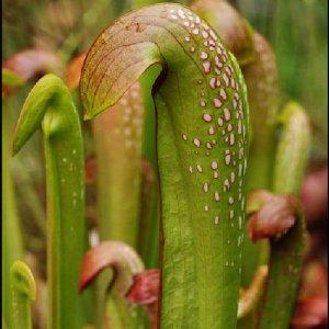 HOODED PITCHERPLANT Sarracenia minor carnivorous BULK 100 seeds