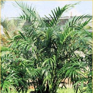 BULK PARLOR PALM CHAMAEDOREA ELEGANS house plant 1000 seeds