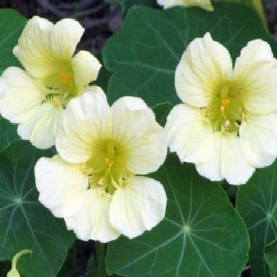 NASTURTIUM Moonlight climbing 100 seeds