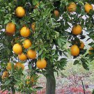 FLORIDA ORANGE TREE Gardner oranges sweet and juicy perfect house plant 10 seeds