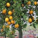 FLORIDA ORANGE TREE Gardner oranges sweet and juicy perfect house plant 50 seeds