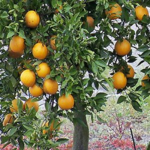 FLORIDA ORANGE TREE Gardner oranges sweet and juicy perfect house plant 50 seeds