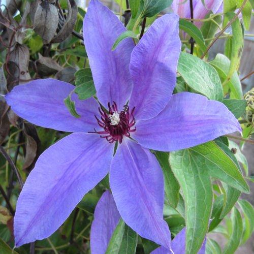 CLEMATIS Blue ravine 20 seeds